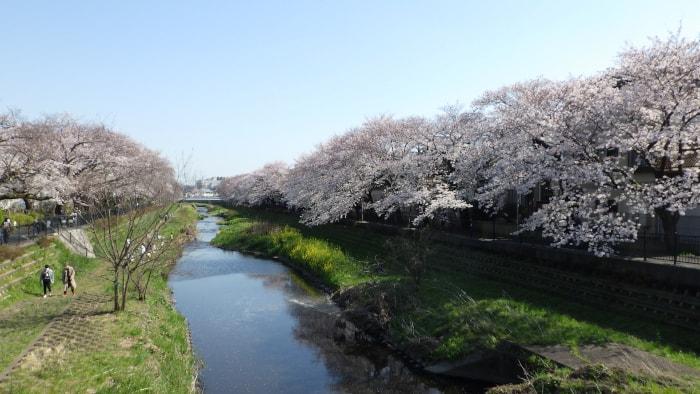 野川の桜_大橋から東方面_2020年3月26日