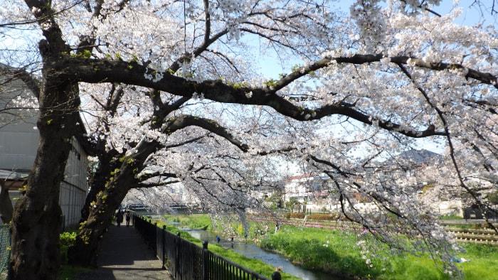 野川の桜_桜の下の通路_横写真