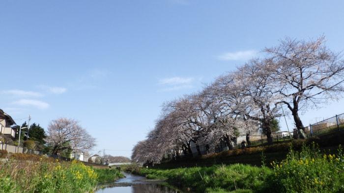 野川の桜_一の橋下から東方面