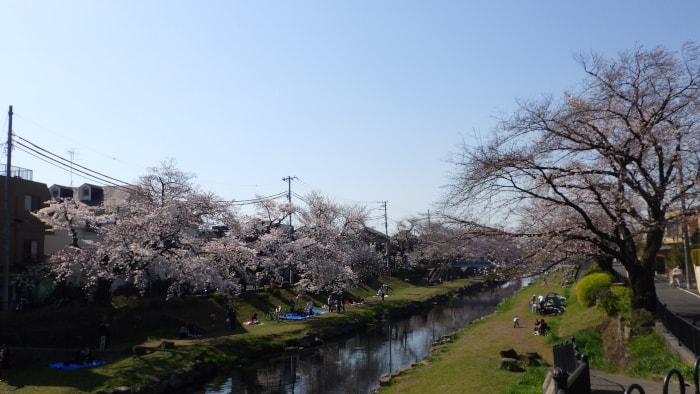野川の桜_調布市場より西の花見スポット_2020年3月26日