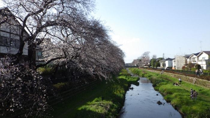 野川の桜_大橋から西方面