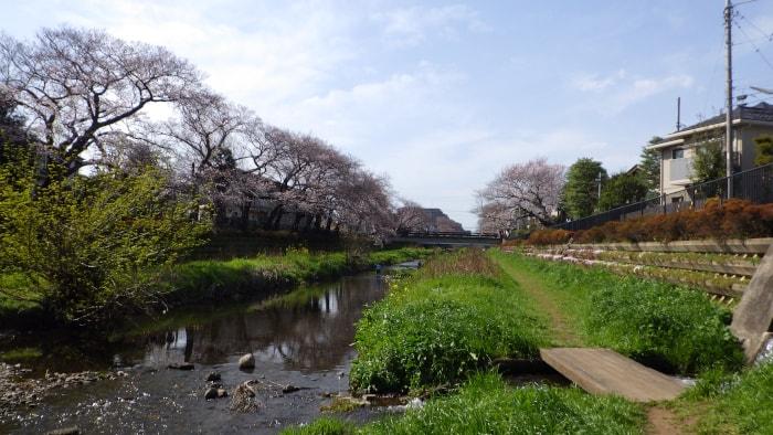 野川の桜_祇園寺通りから西方面