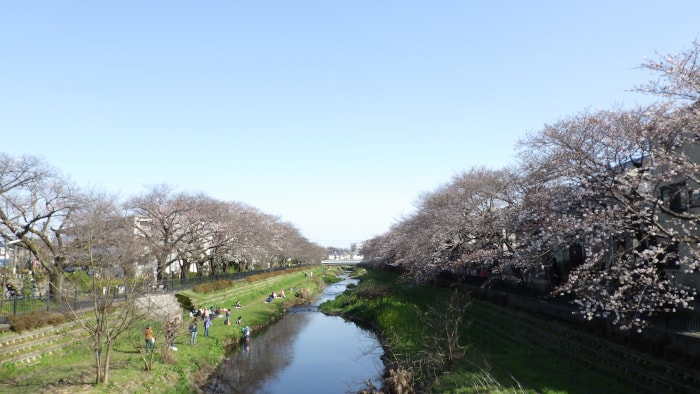 野川の桜_大橋から東方面