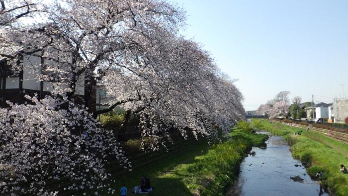 野川の桜_大橋から西方面_2020年3月26日