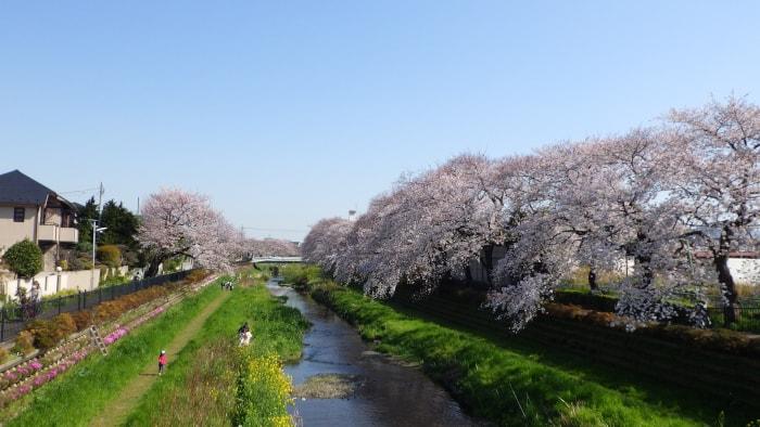 野川の桜_一の橋から東方面2020年3月26日